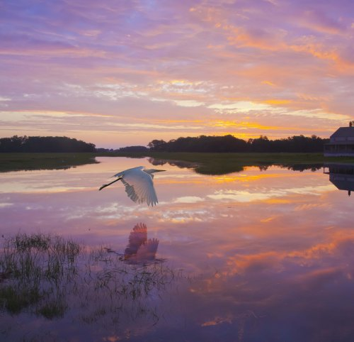 Great Egret Skims Water Surface In Sunrise Light Reflection